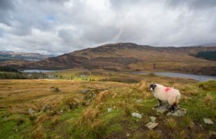 Sheep in the mountains   Care Home Supplier News